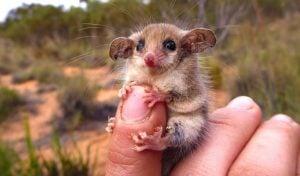 cüce possum