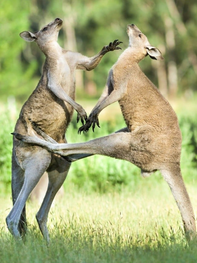 kanguru kavgası