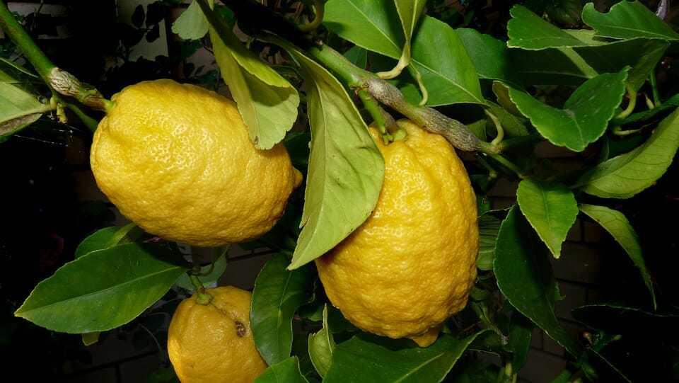 limon dali