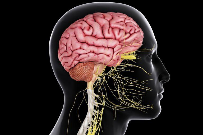 beyin ve sinir sistemi