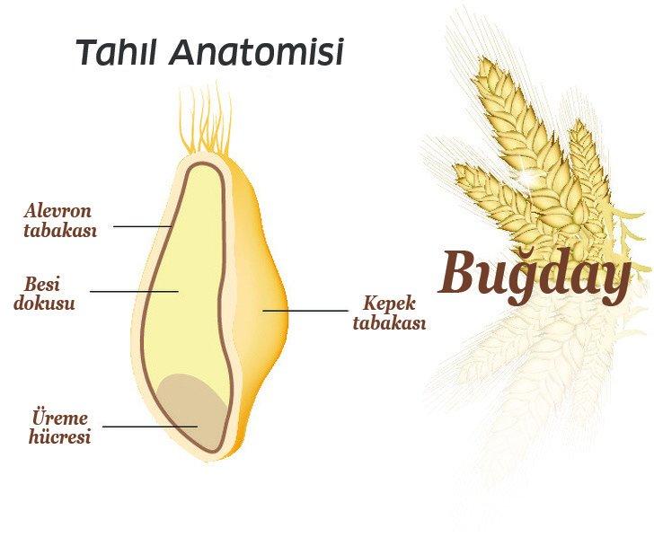 tahıl anatomisi