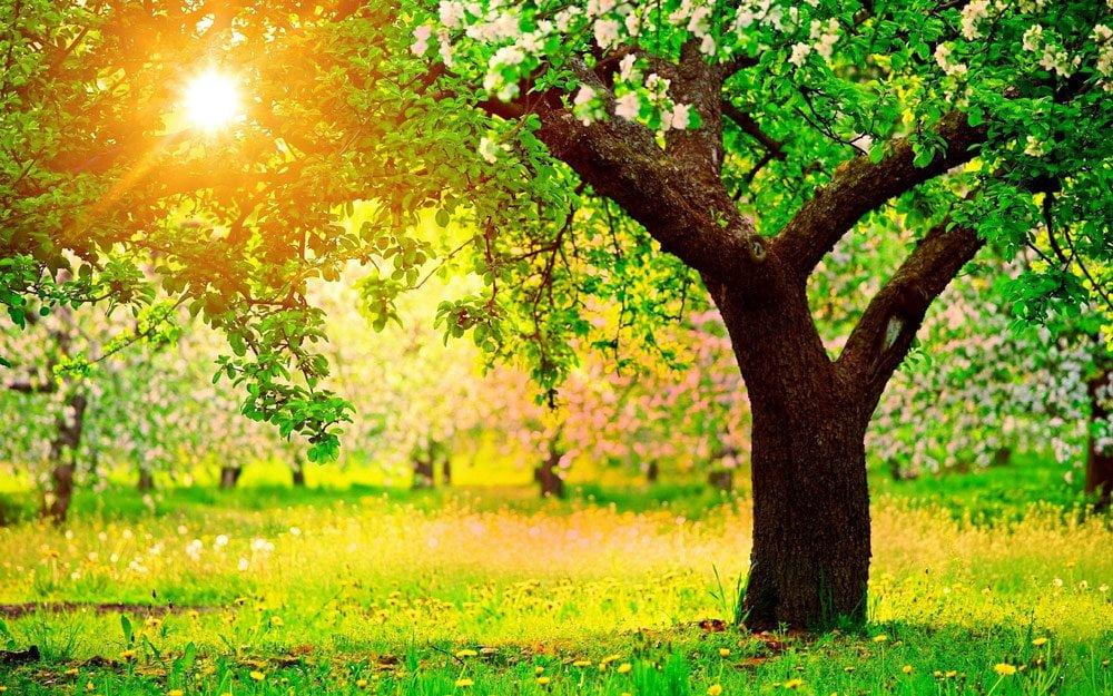 yeşermiş ve büyümüş limon ağacı