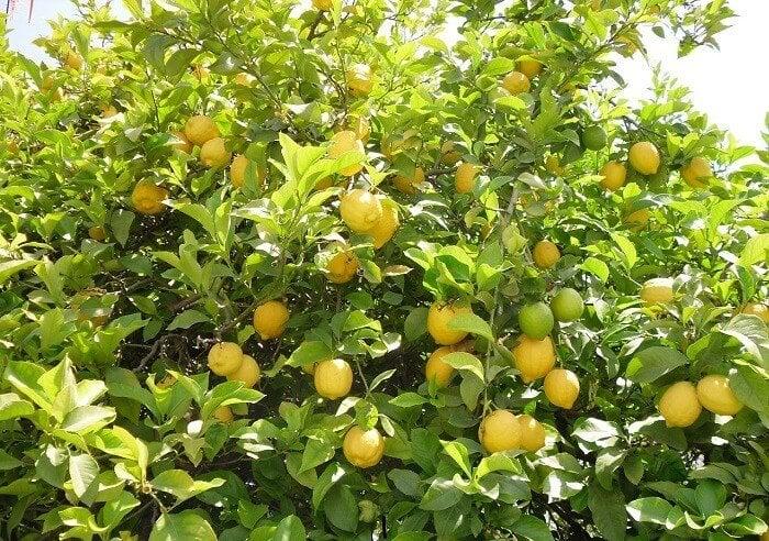 limonlar sarı rengini alırken