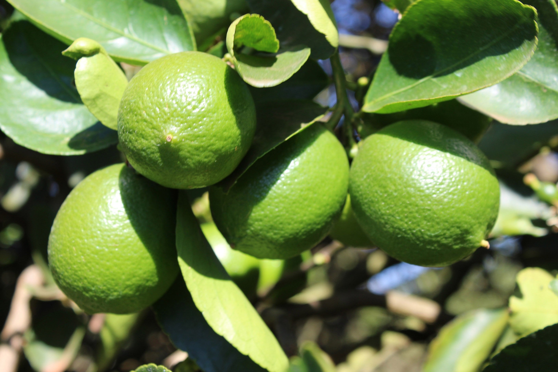 limonlar ağacın dallarındayken