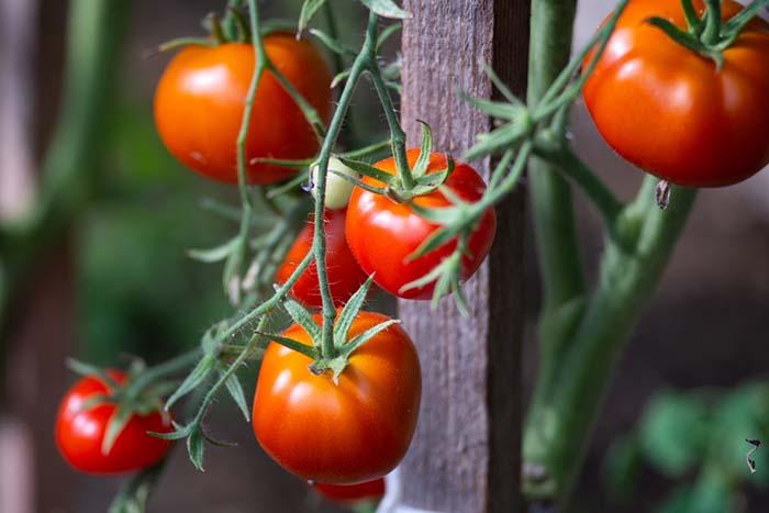 domates yapragi