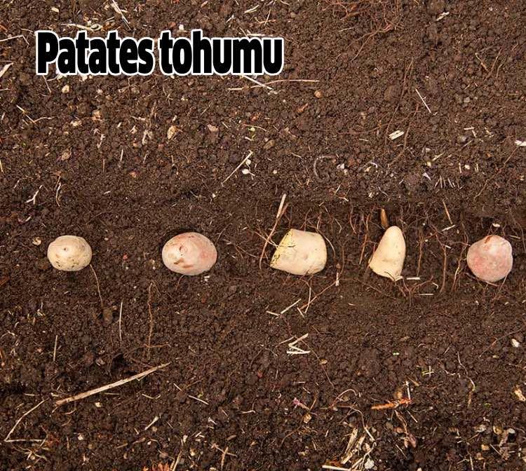 patates tohumu