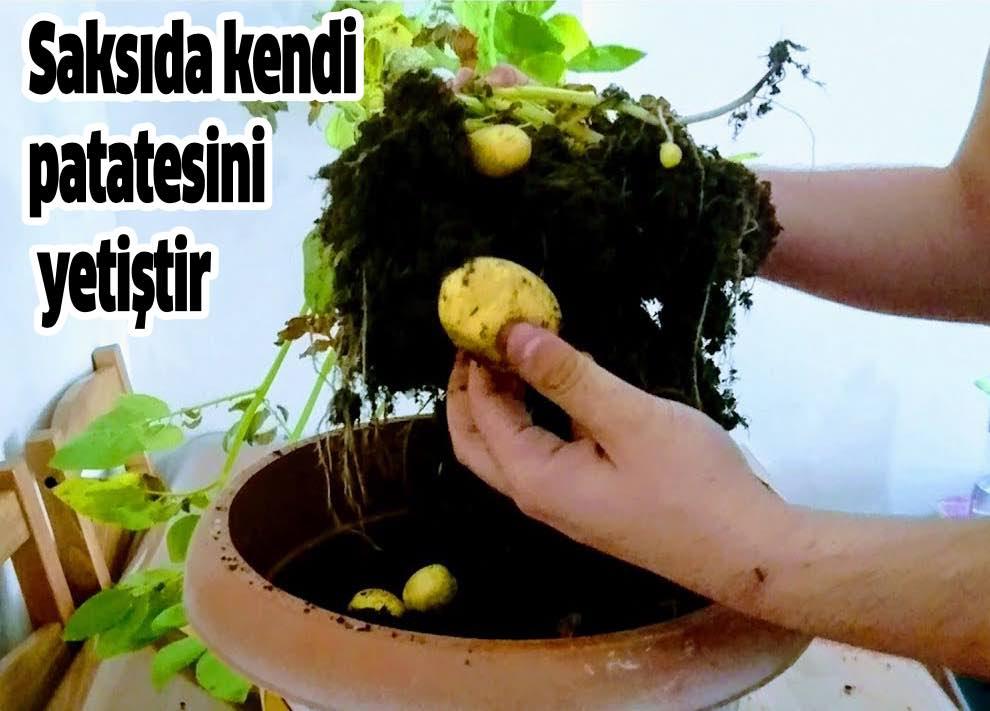 saksida patates yetistir